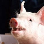 豚.jpg